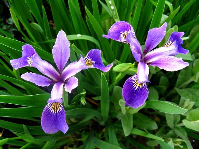 Récolte des semences, plante par plante - Page 2 Iris_s10