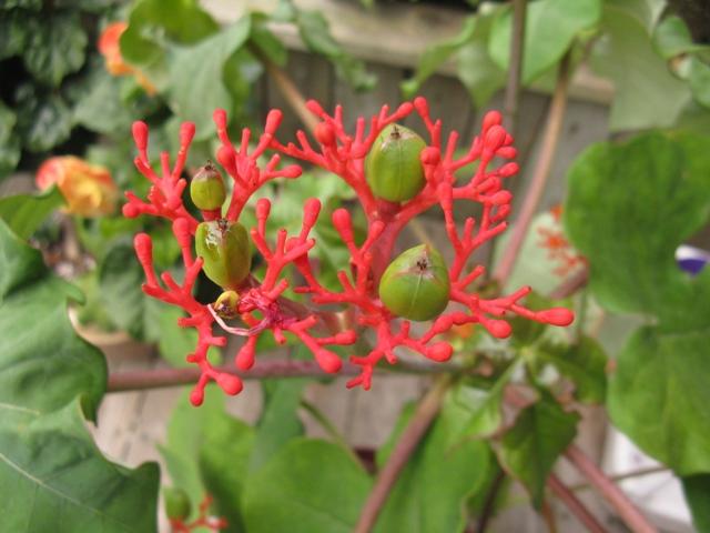 Récolte des semences, plante par plante - Page 2 Jatrop12