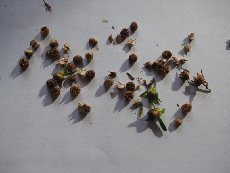 Récolte des semences, plante par plante - Page 5 Linum_12