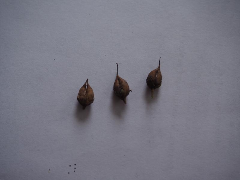 Récolte des semences, plante par plante - Page 5 Penste21