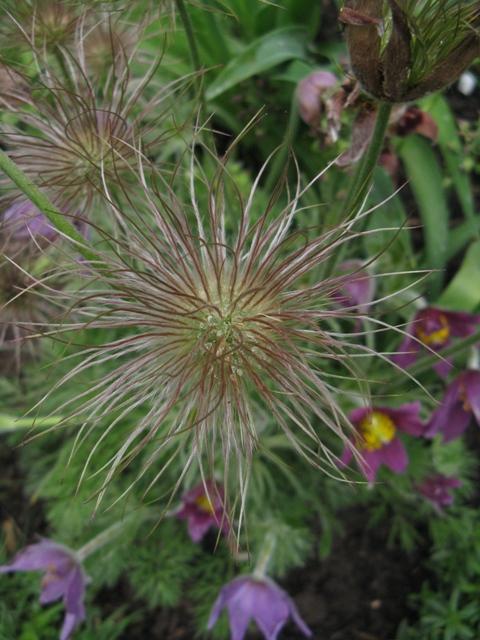 Récolte des semences, plante par plante Pulsat10