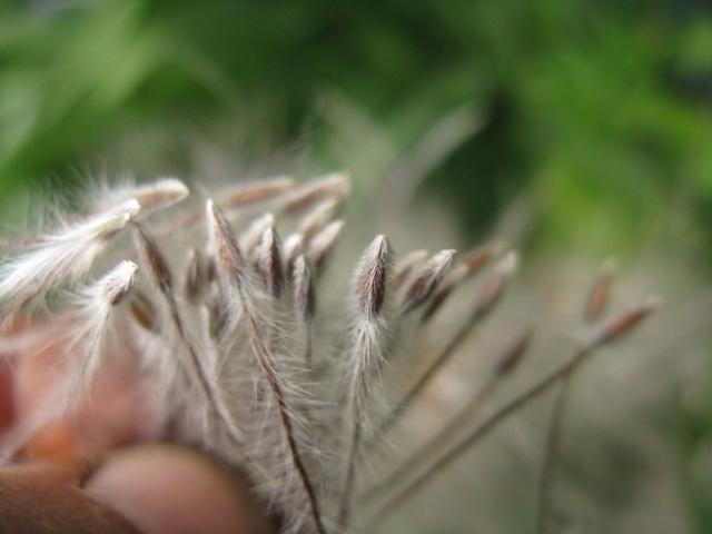 Récolte des semences, plante par plante Pulsat11