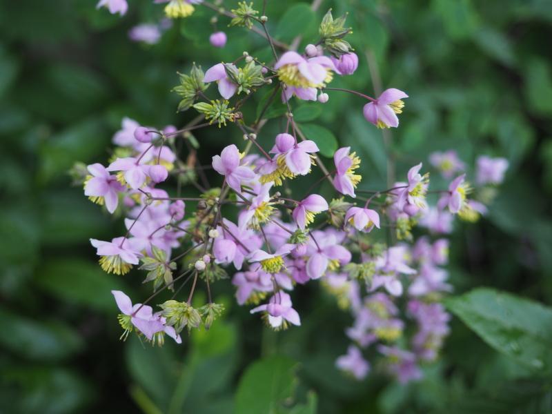 Guide d'identification: jeunes pousses, feuillages et fleurs - Page 7 Thalic12