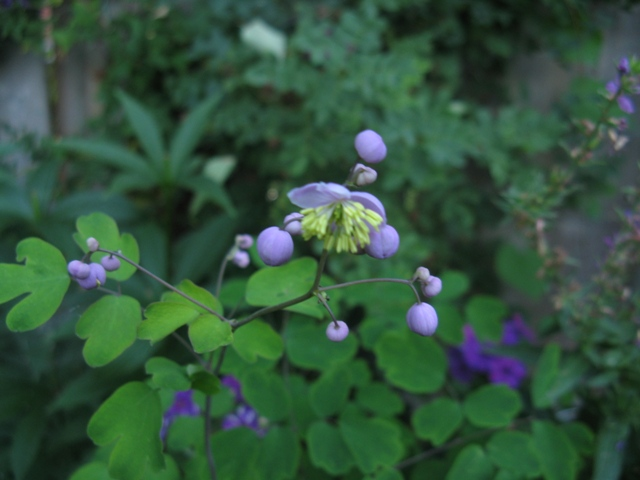 Récolte des semences, plante par plante - Page 4 Thalic13