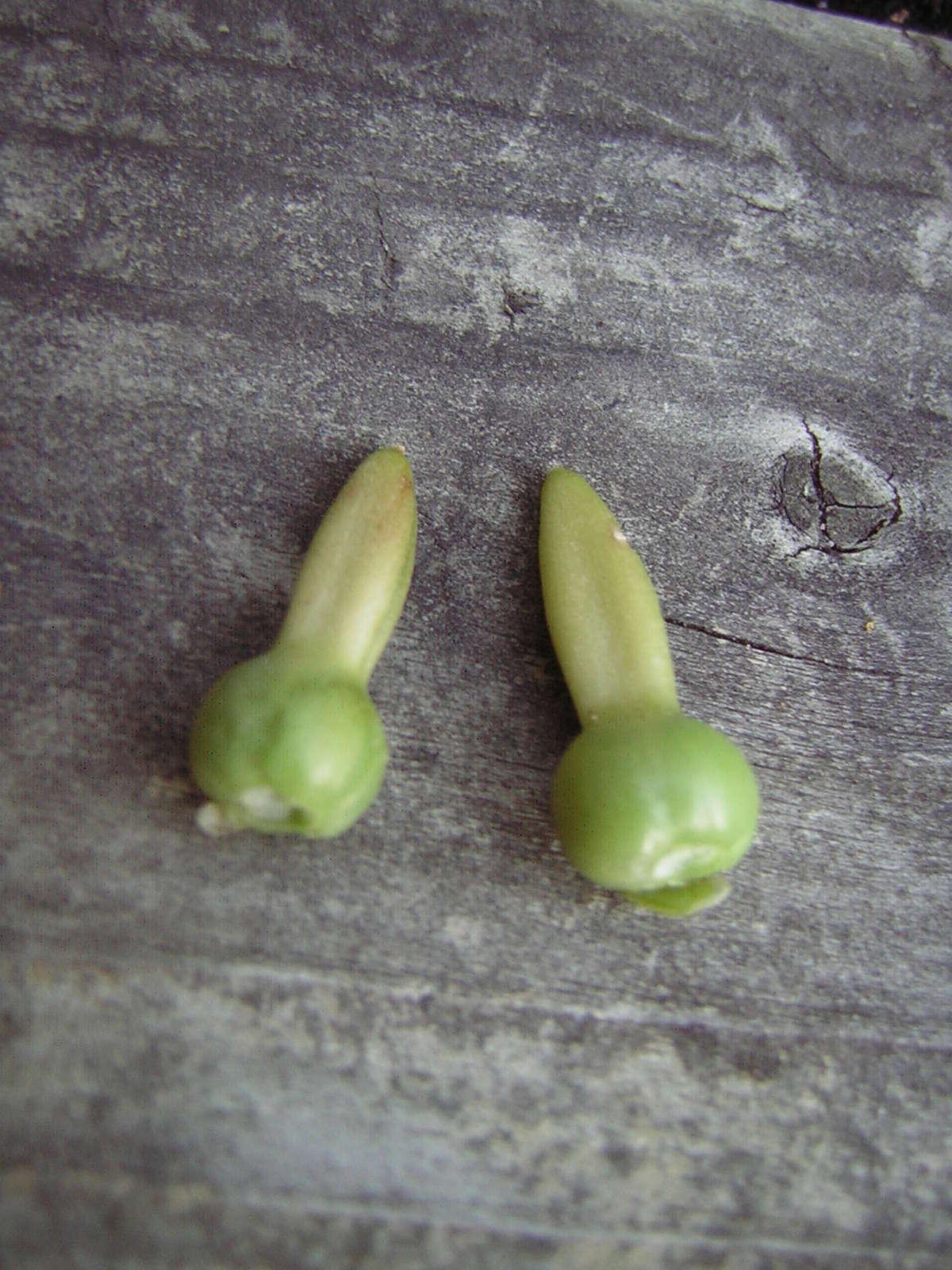 Récolte des semences, plante par plante - Page 4 Thunbe11