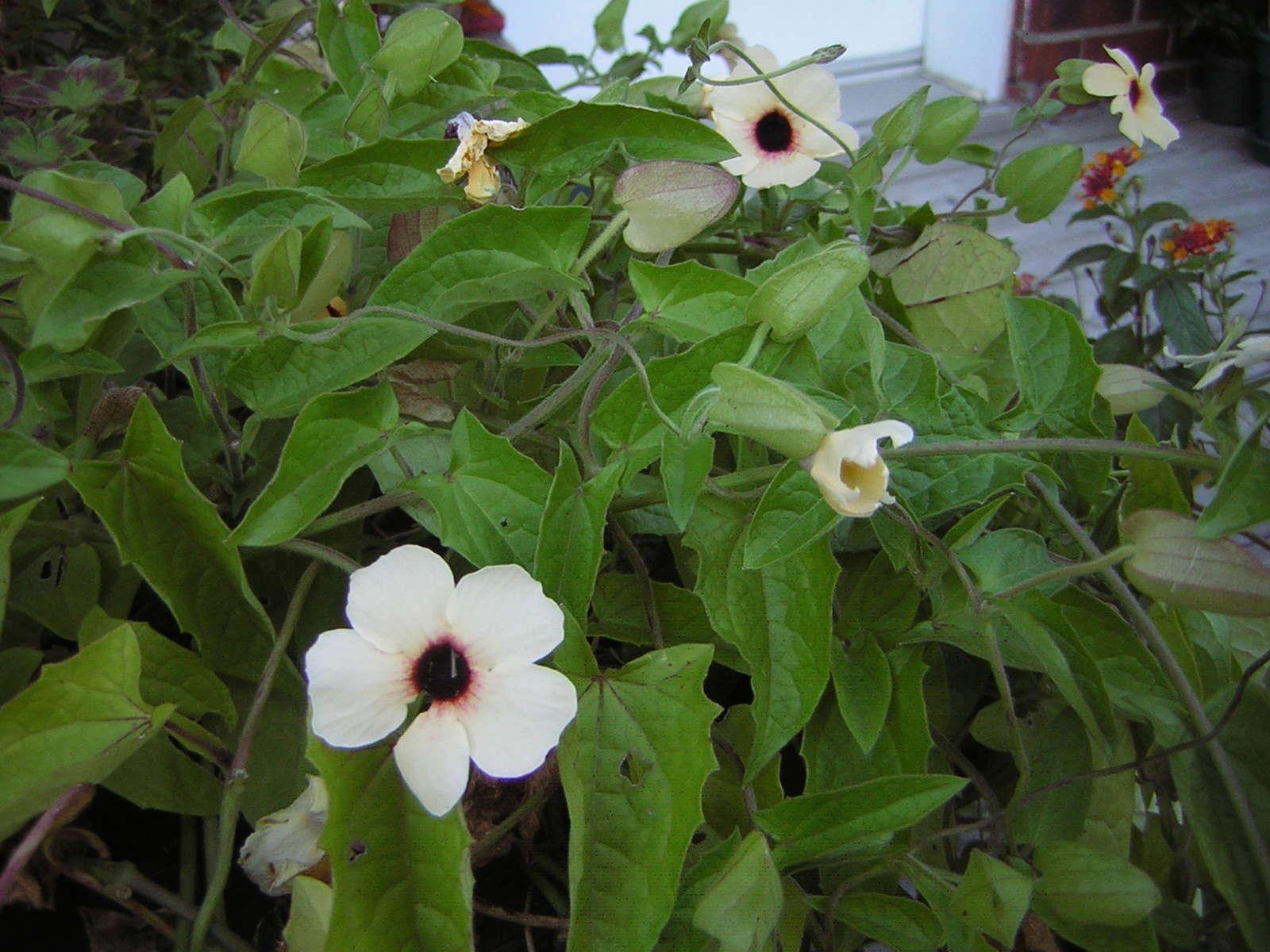 Récolte des semences, plante par plante - Page 4 Thunbe12
