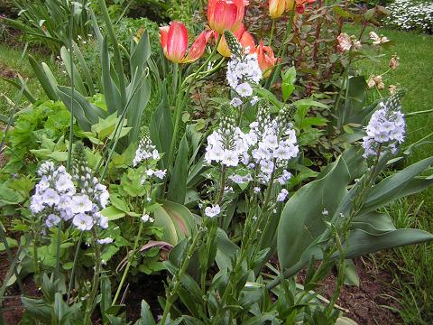 Guide d'identification: jeunes pousses, feuillages et fleurs - Page 3 Veroni14