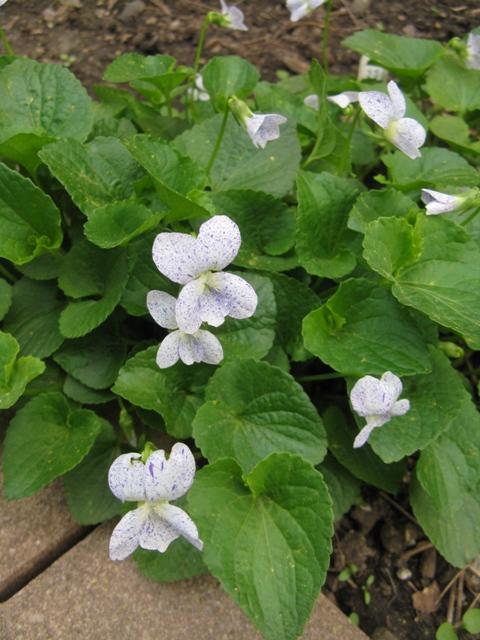 Guide d'identification: jeunes pousses, feuillages et fleurs - Page 8 Viola_15