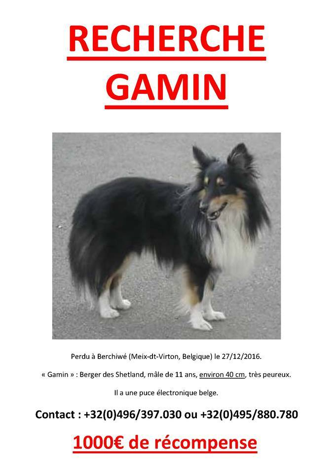 Gamin , mâle tricolore, perdu Belgique, puce belge Gamin10