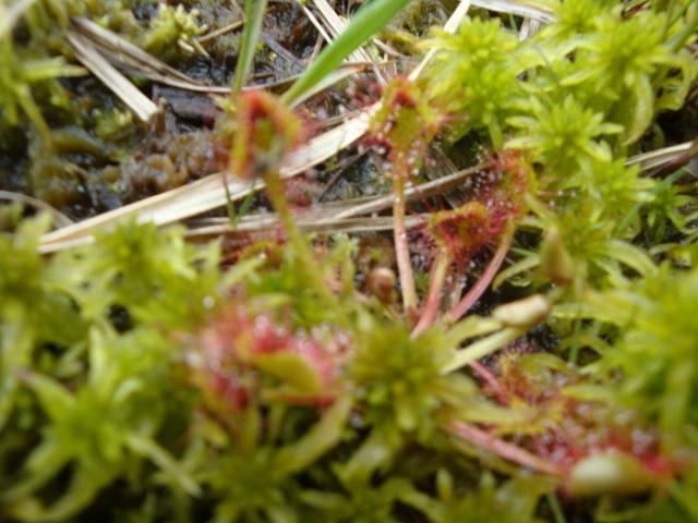 drosera rotundifolia croisée dans les tourbiere des hautes  fagne 18510