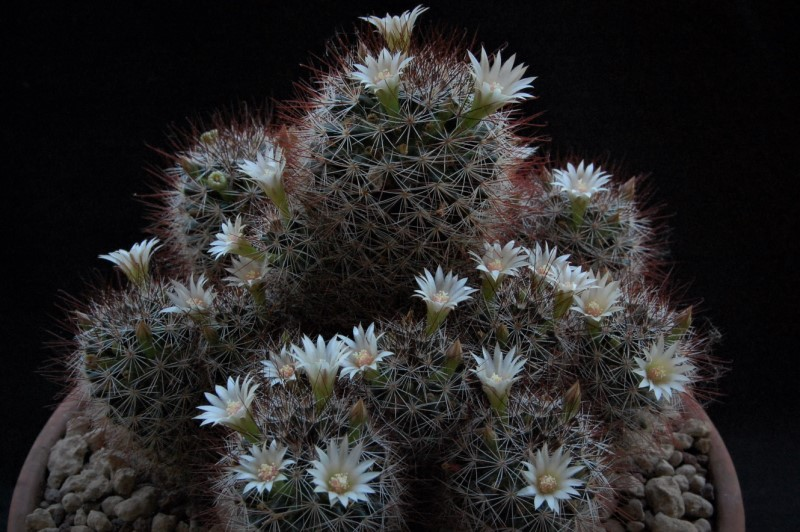 Mammillaria marcosii 2239-210