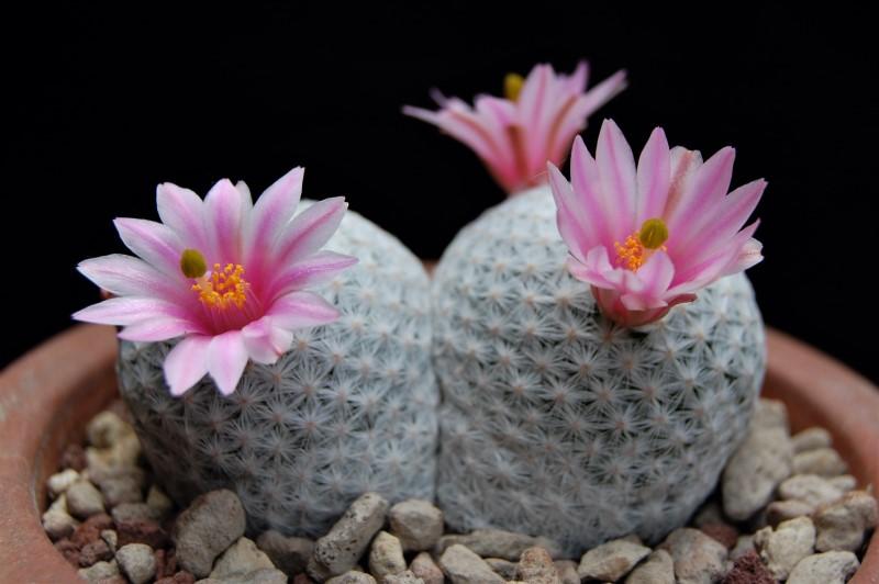 Mammillaria herrerae 2246-210