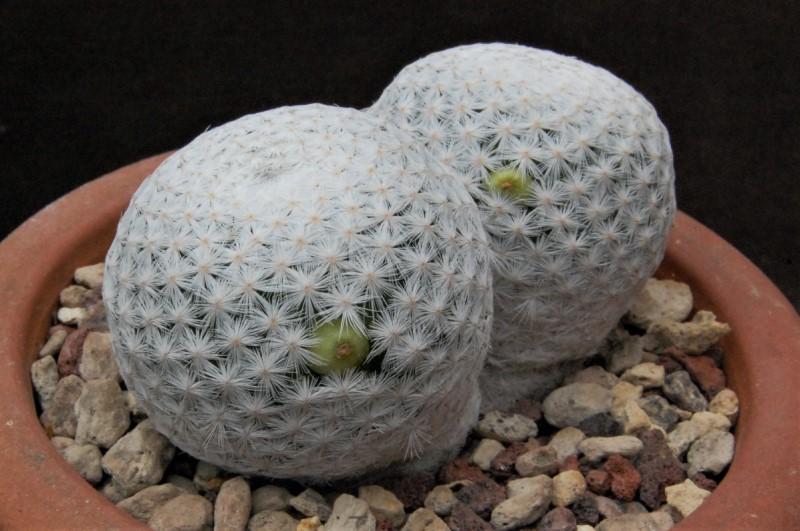 Mammillaria herrerae 2246-211