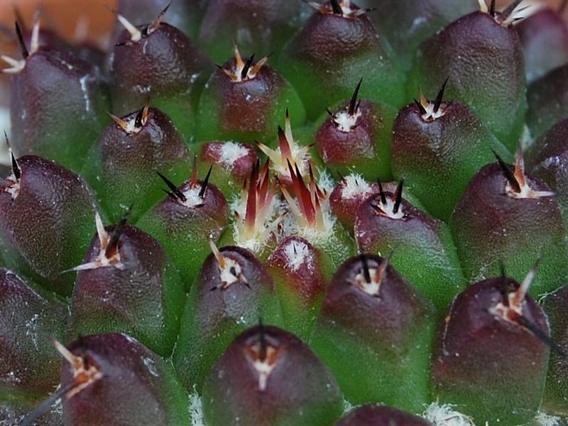 Mammillaria abracelaya      3119-211