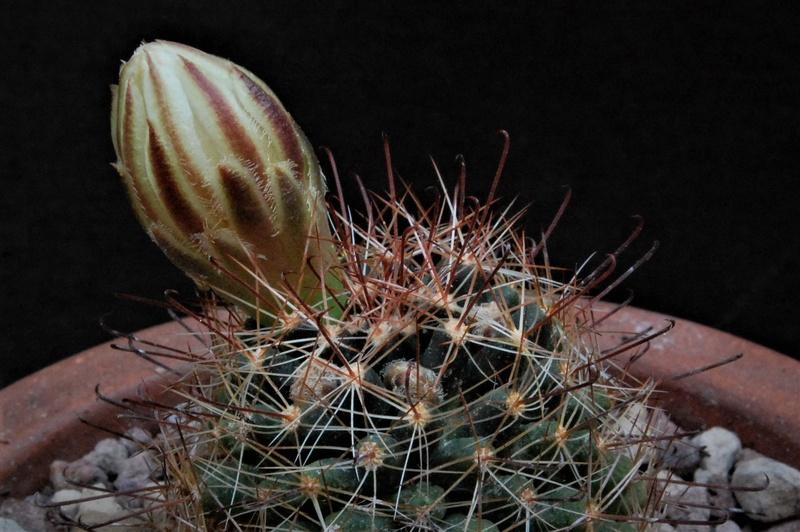 Mammillaria wrightii 3288-212