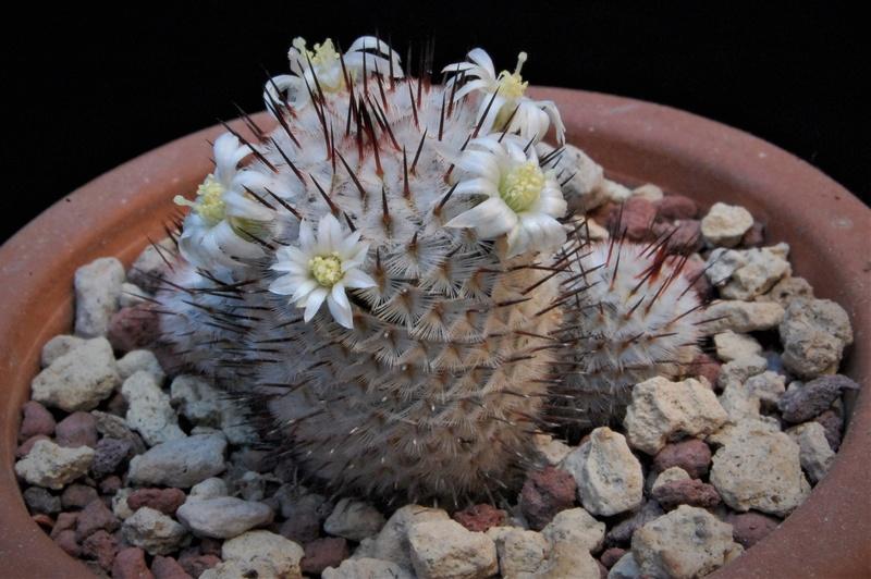 Mammillaria perezdelarosae 3367-210