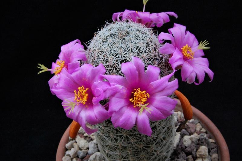 Mammillaria alamensis 7205-210