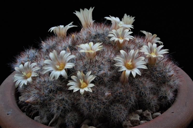 Mammillaria prolifera 7363-210