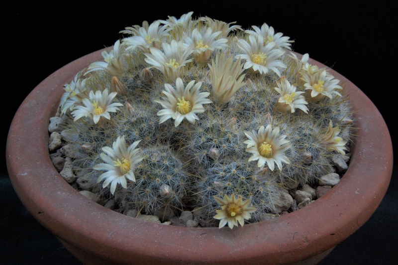 Mammillaria multiceps 7372-210
