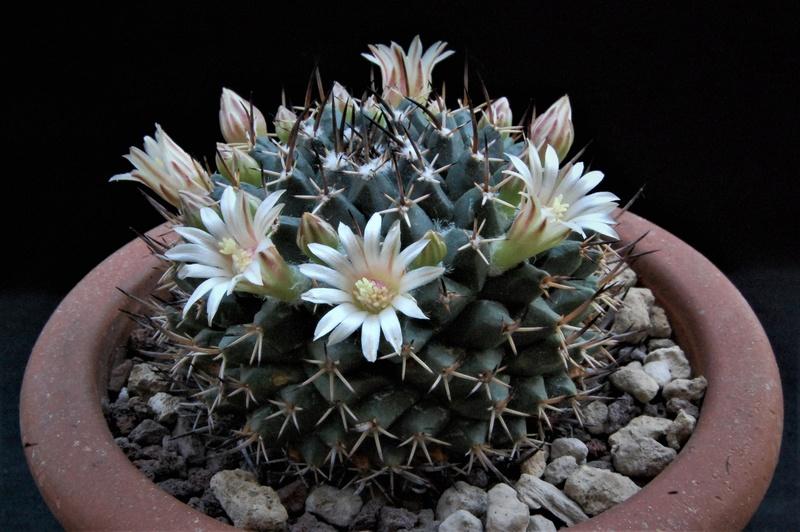 Mammillaria vagaspina 8080-210
