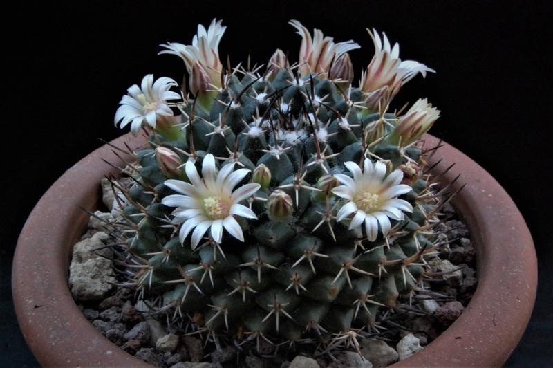 Mammillaria vagaspina 8080-211