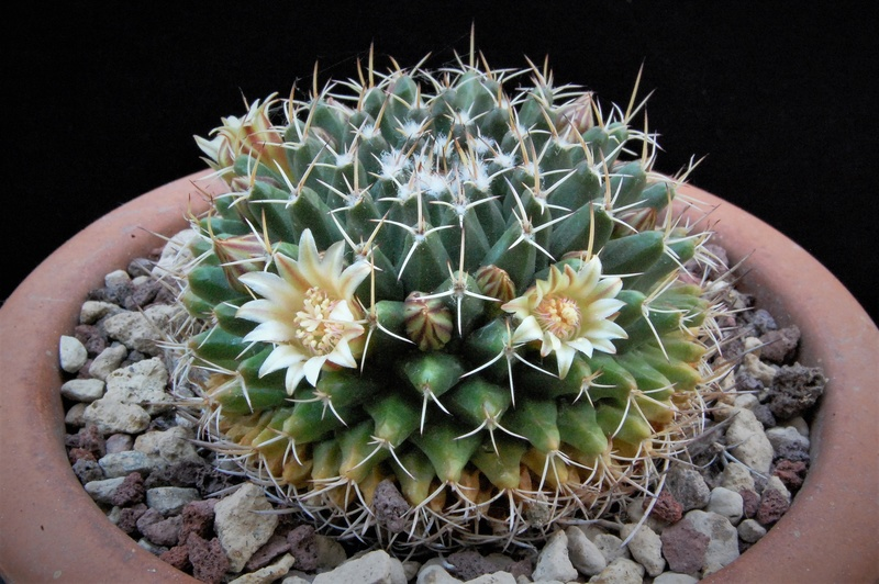 Mammillaria matehuala 8154-214