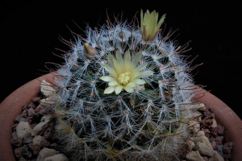 Mammillaria nana 8430-210