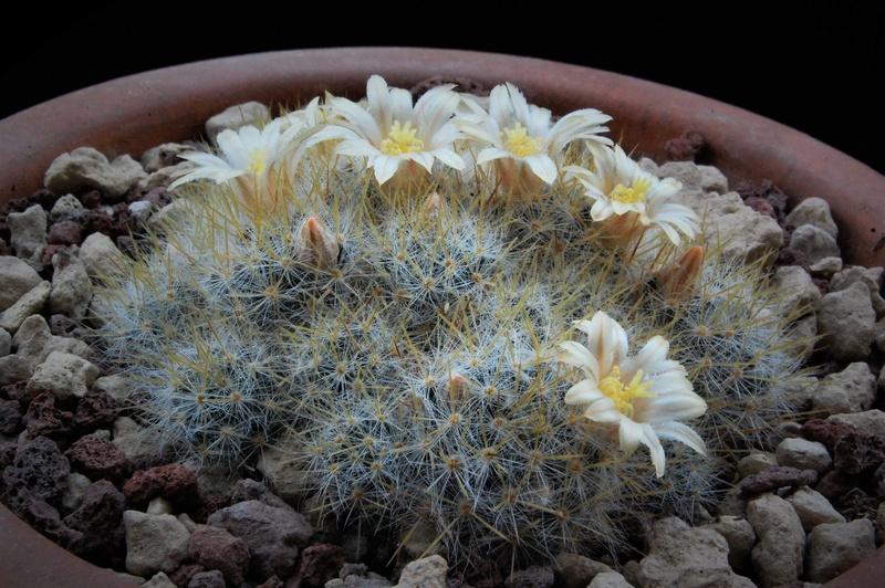Mammillaria multiceps 8436-210