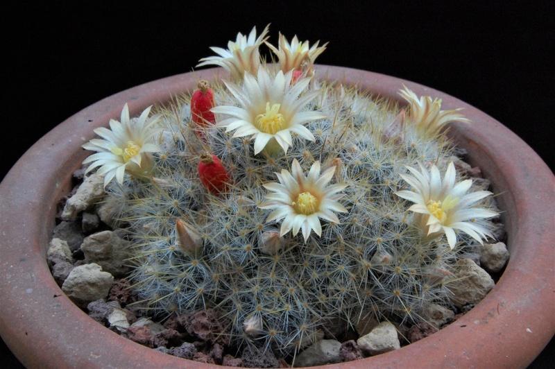 Mammillaria prolifera 8466-210