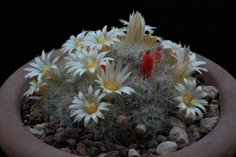 Mammillaria prolifera 8466-211