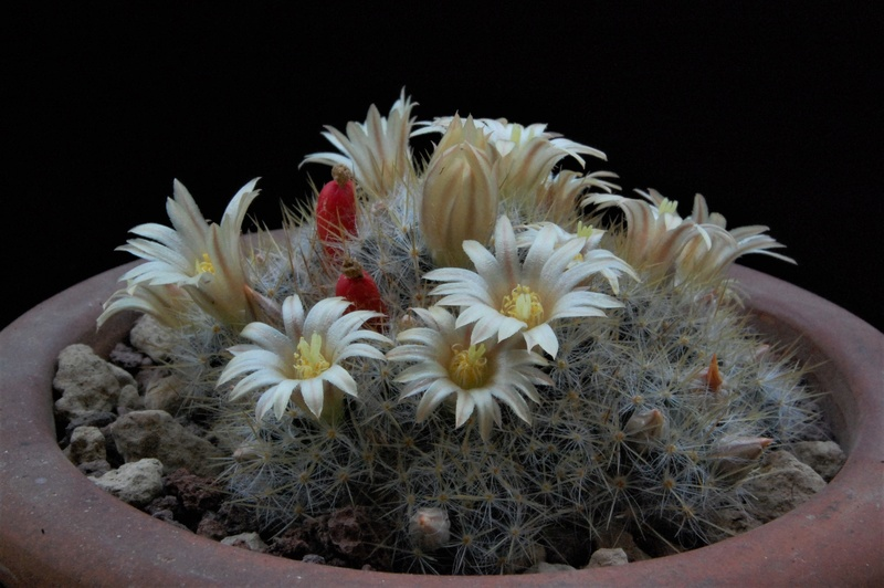 Mammillaria prolifera 8466-212