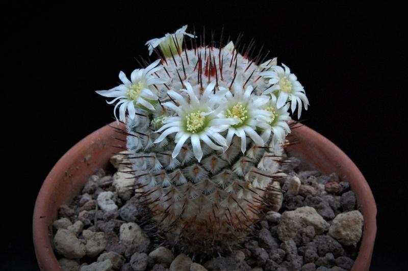 Mammillaria perezdelarosae 8616-210