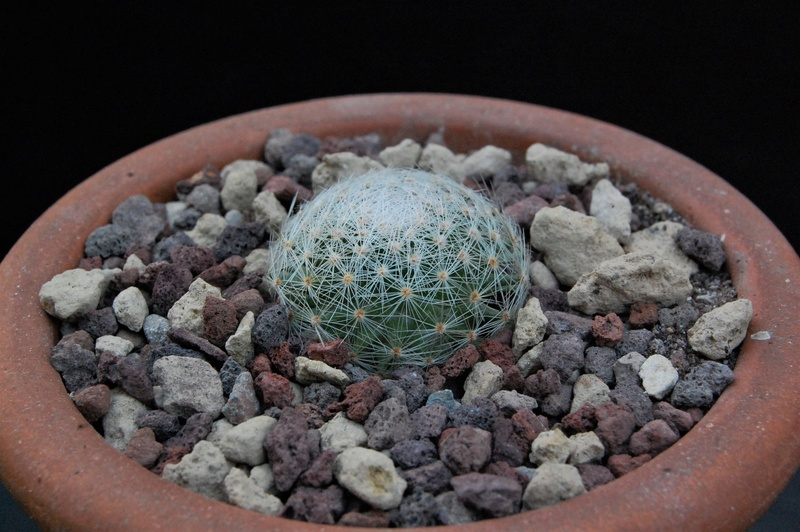 Mammillaria lenta 9235-210