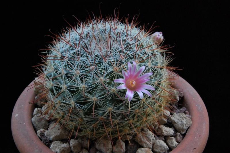 Mammillaria jaliscana 9462-210