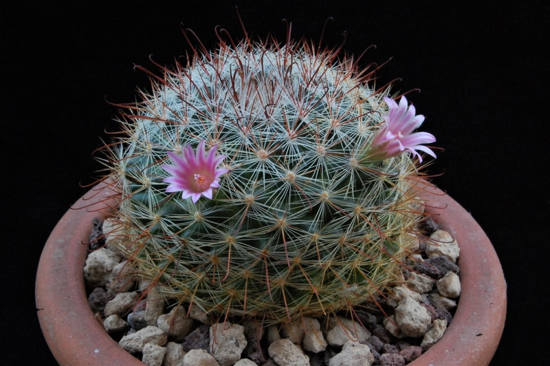 Mammillaria jaliscana 9462-212