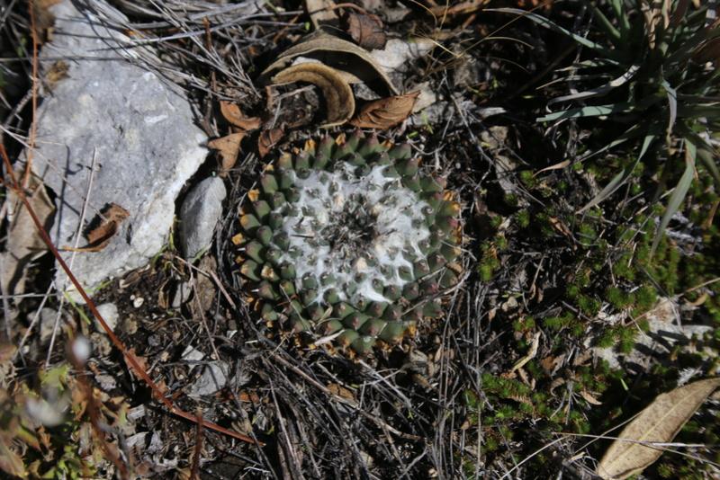 Mammillaria sempervivi Img_0111