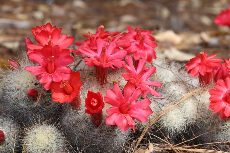 Mammillaria senilis Img_0911