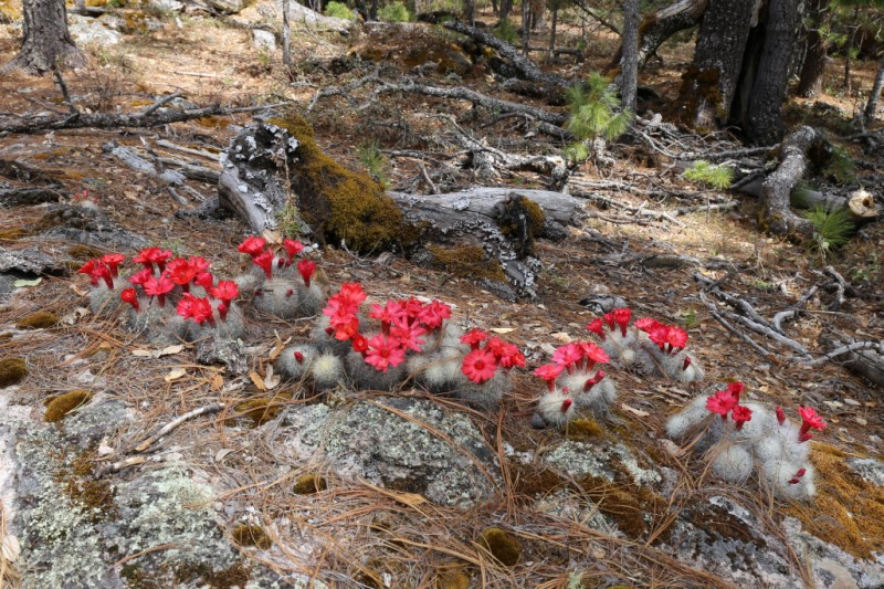 Mammillaria senilis Img_0912