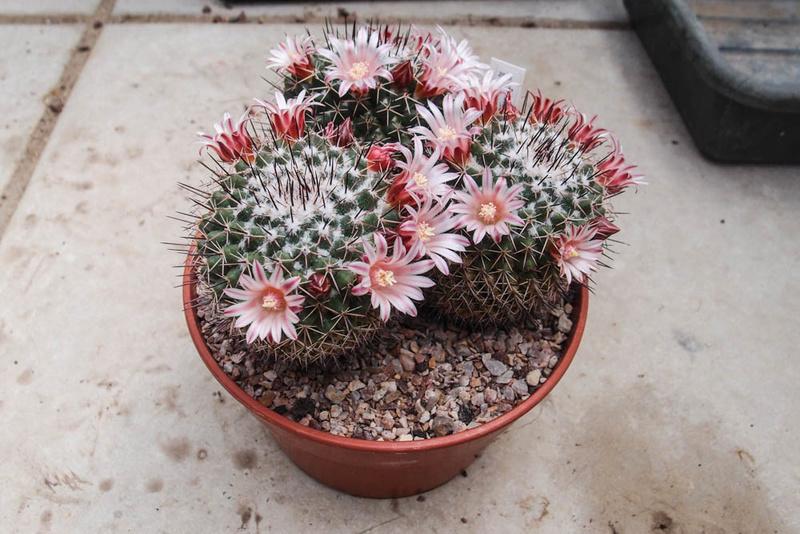 Mammillaria petterssonii P5272510
