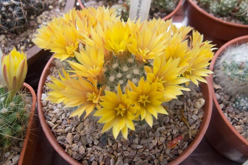 Mammillaria baumii P6292710