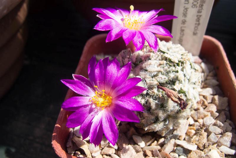 Mammillaria bertholdii P7072710