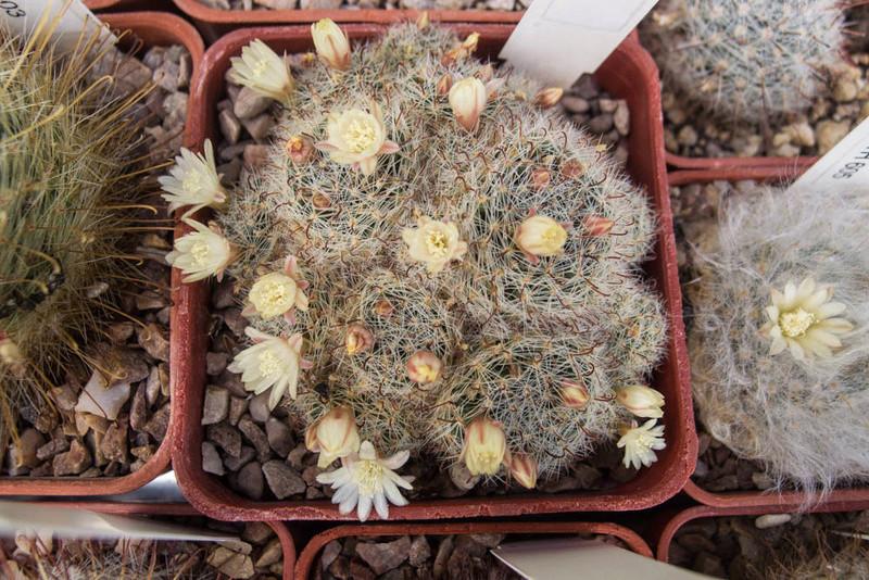 Mammillaria tezontle P7082711