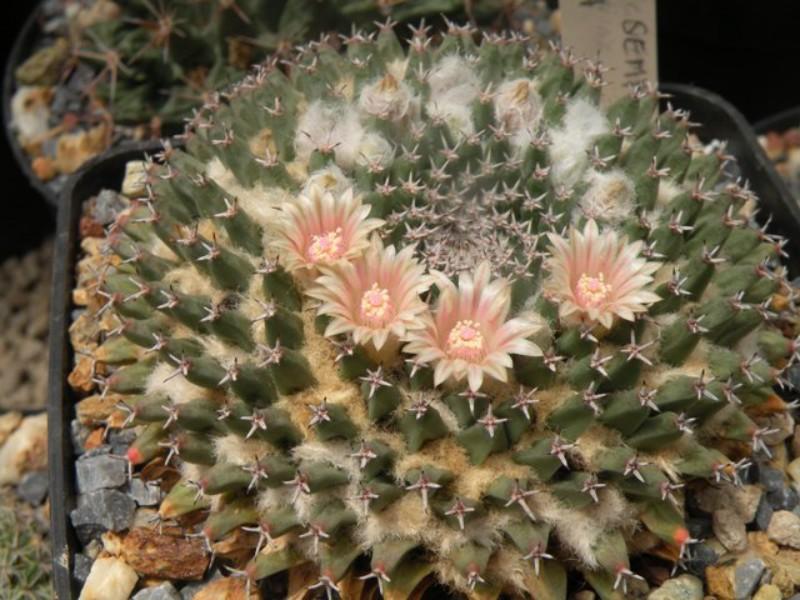 Mammillaria sempervivi Semper10