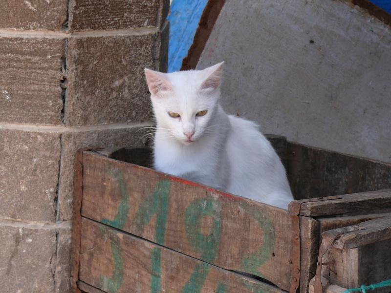 Les Chats d'Essouira P1010410