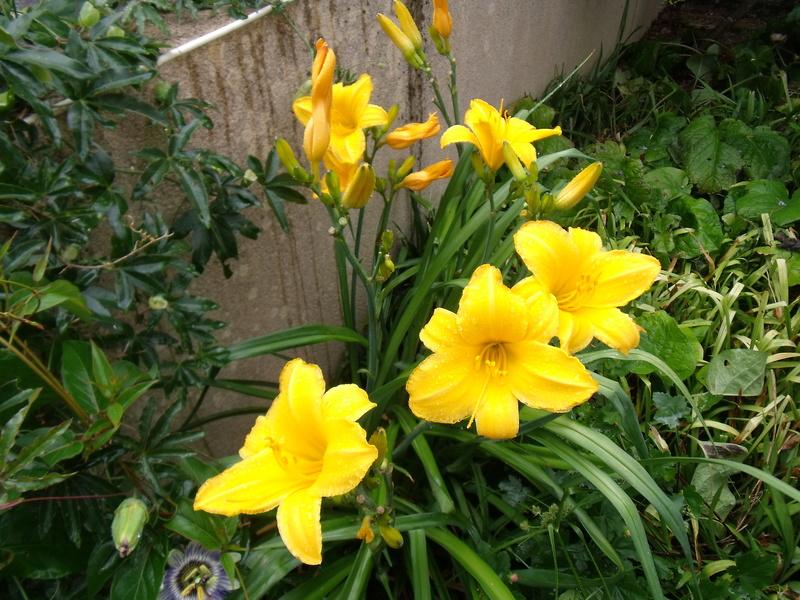 ces quelques fleurs de nos jardins - Page 5 Hemero10