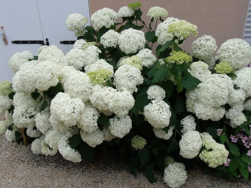Hydrangea arborescens 'Annabelle' Hydran10