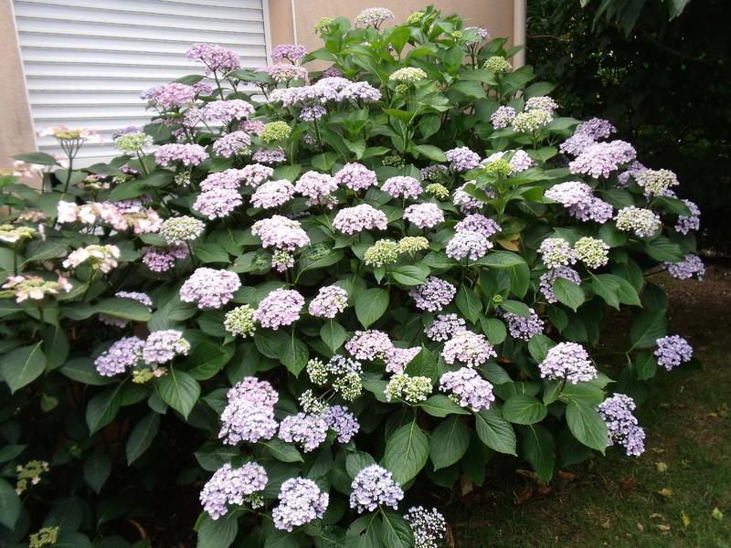 Hydrangea arborescens 'Annabelle' Hydran11
