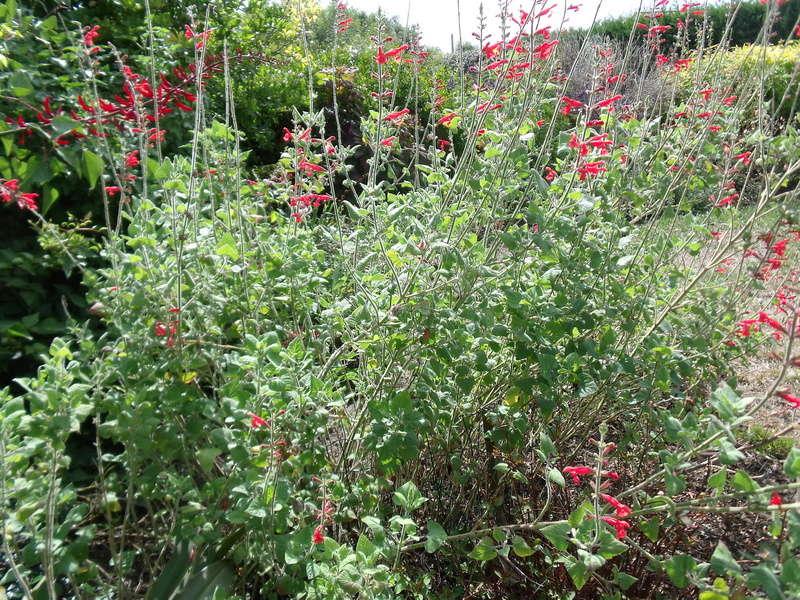 Anselme - Le jardin d'Anselme (44) Salvia10