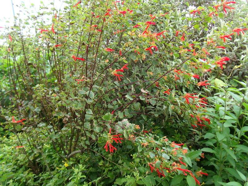 Anselme - Le jardin d'Anselme (44) Salvia11