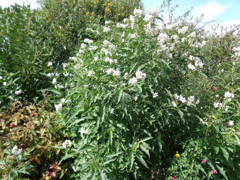 Le jardin d'Anselme (44) Solanu11